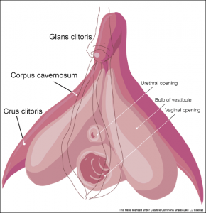 Clitoris anatomy