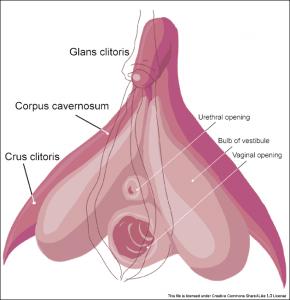 Clitoris anatomy
